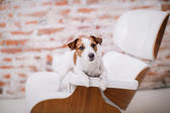 Jack Russell dog — ストック写真