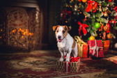 Jack Russell dog at the Christmas — Fotografia Stock