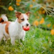 Portrait of a dog. Jack Russell Terrier — Stock Photo #59674023