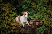 Portrait of a dog. Jack Russell Terrier — Zdjęcie stockowe
