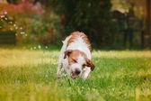 Portrait of a dog. Jack Russell Terrier — Foto de Stock