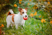 Portrait of a dog. Jack Russell Terrier — Stock Photo