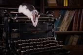 Portrait of domestic rat — Stock Photo