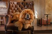 Dog breed  chow chow  — Stock Photo