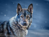 Drawing  mixed breed Dog Wolf  — Stok fotoğraf