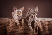 Devon Rex cat — Stock Photo