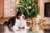 Dog breed Australian Shepherd, Aussie, Christmas and New Year — Stock Photo