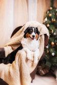 Dog breed Australian Shepherd, Aussie, Christmas and New Year — Stock Photo