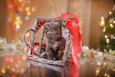 British kitten, Christmas and New Year — Stock Photo