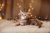 British kitten, Christmas and New Year — Stockfoto