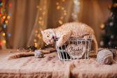 British kitten, Christmas and New Year — Stock fotografie