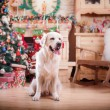 Golden retriever, Christmas and New Year — Stock Photo #60856691
