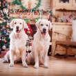Golden retriever, Christmas and New Year — Stock Photo #60856751