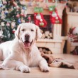 Golden retriever, Christmas and New Year — Stock Photo #60857021