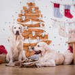 Golden retriever, Christmas and New Year — Stock Photo #60857545