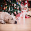 Golden retriever, Christmas and New Year — Stock Photo #60857711