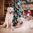 Golden retriever, Christmas and New Year — Stock Photo #60857777