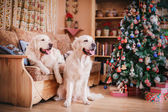 Golden retriever, Christmas and New Year — Stock Photo