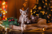 Devon Rex cat, Christmas and New Year — Stock Photo