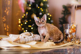 Devon Rex cat, Christmas and New Year — Stockfoto