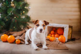 Jack Russell dog at the Christmas and New Year — Stockfoto