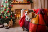 Jack Russell dog at the Christmas and New Year — Stock Photo