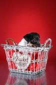 Cão de raça Toy fox terrier cachorrinho — Fotografia Stock