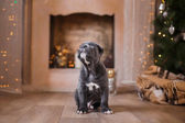 Chien de race Cane Corso chiot — Photo