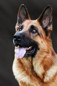 Drawing of the dog German Shepherd Dog — Stock Photo