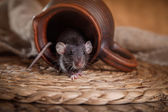 Brown  domestic rat — Stock Photo