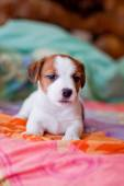 Puppy Jack Russell Terrier — Stock Photo