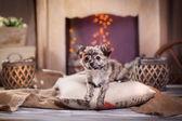 Filhote de cachorro chihuahua — Fotografia Stock
