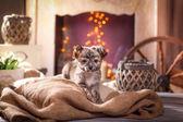 Chihuahua puppy  — Стоковое фото