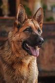 Drawing dog German Shepherd — Stock Photo