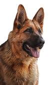 Drawing German Shepherd Dog — Stock Photo
