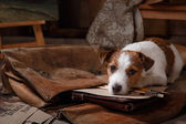 Dog Jack Russell Terrier — Stock Photo