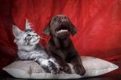 Labrador puppy and kitten breeds Maine Coon — Stock Photo