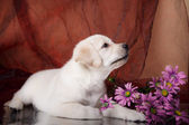 Puppy breed labrador — Stock Photo