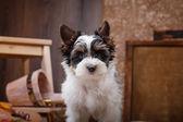 Biewer Yorkshire terrier Puppy — Stock Photo