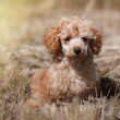 Постер, плакат: Red toy poodle puppy