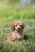Red toy poodle puppy — Stock Photo