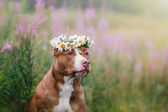 Cute pit bull dog  terrier with daisies — Stock Photo