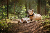 Friendship. Dogs in the forest — Stock Photo