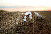 Jack Russell terrier in a field at sunset — Stock fotografie