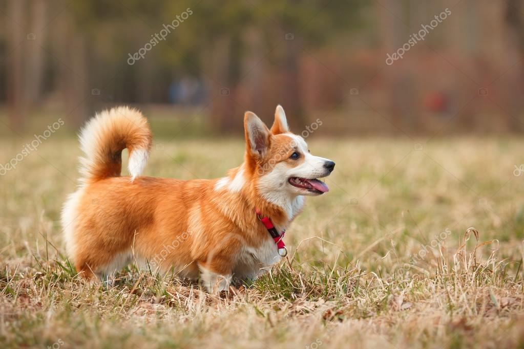 Breeds Of Dogs That Look Like Foxes