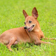 Постер, плакат: Miniature pinscher in the green