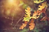 Autumnal oak branch at sunset — Stok fotoğraf