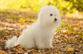 Bichon bolognese dog relax in park — Stock Photo
