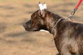 Young american staffordshire terrier in park — Photo