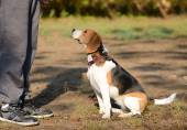 Photo of a Beagle dog — Stock Photo